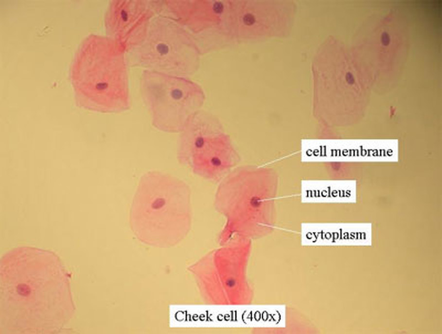 life science unit welcome to mr fleming science onion cell diagram labeled 1000x